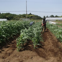 トウモロコシ、根っこを見る、そして土寄せ
