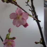 室内の桜が咲きました!