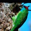 ネパールのゴシキドリ