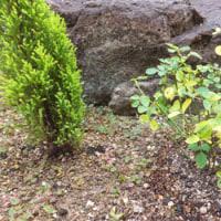 ミニバラを庭に。