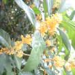 キンモクセイの花が咲いていました