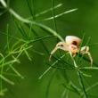 アズチグモ ♀