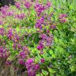『季節の花』 萩