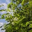 マルバアオダモの花が咲いている