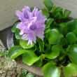 ホテイアオイの花が咲きました。