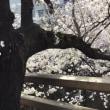 石神井川でお花見