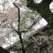 さくら、桜、サクラの春。しかし乱気温で、晴れ、曇り、雨。