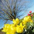 花彩々 チューリップ日和
