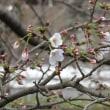 安佐北区でも桜開花