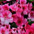 庭の花 2018/5/26 色とりどりの花が混じったツツジ!