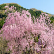 竹田のしだれ桜2018