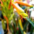 H.C.  アロエの花