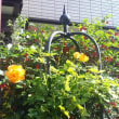 庭のバラと・・・