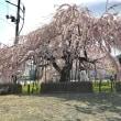いよいよ桜散歩~
