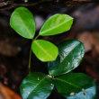 ミヤマトベラの葉1