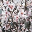 アーモンドの花が咲いている