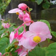 季節の花「秋海棠 (しゅうかいどう)」