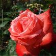 石田ローズガーデンバラ祭り 最終日