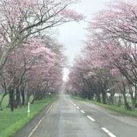桜の季節🌸