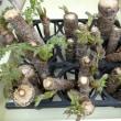水耕栽培タラの芽の天ぷら