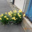 春「今年も花・福寿草・樽前山」