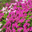 散歩で見る花、我が家の花