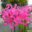 季節の花「ネリネ」