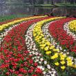 チューリップ、花盛り――キューケンホフ植物園