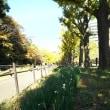 保土ヶ谷公園の銀杏