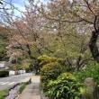 新町小学校の桜