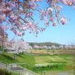 今年の桜 続き