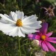 ポーチュラカにシジミ蝶と白のコスモスの花