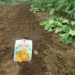 ジャガイモを植えました。