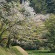 五十公野公園と桜