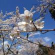 桜開花予想。