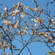 飛鳥山公園の十月桜(寒桜)・・2