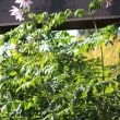 皇帝ダリア『8のつく日はwebにお花を』(55)