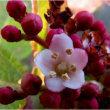 ねこ柳とガマズミの花。          18.2月23日