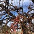 中川区荒子公園の梅の様子は(よしだ麺)