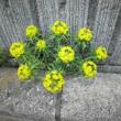 ユーフォルビア・キパリッシアス Euphorbia Cyparissias