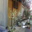 築地市場の佃林です。白田さんの梅の花