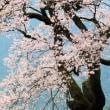 お花見 ひょうたん桜