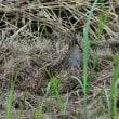 枯草いっぱいの場所から顔を出した、チュウジシギ。
