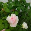 復活したバラ シャリファ・アスマ