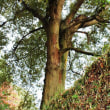 イチイガシの巨樹4