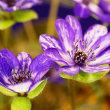 雪割草展示会 高嶺の花たち