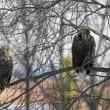 先日の鳥  オジロワシ  要約毎年来ているオジロが来ました、枝被りですが