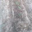 落花生の移植