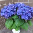 紫陽花...。