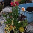 ハロウィーン仕立ての寄せ植えをしておりました。